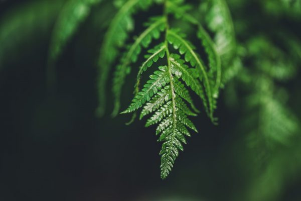 Close up of the tip of a fern
